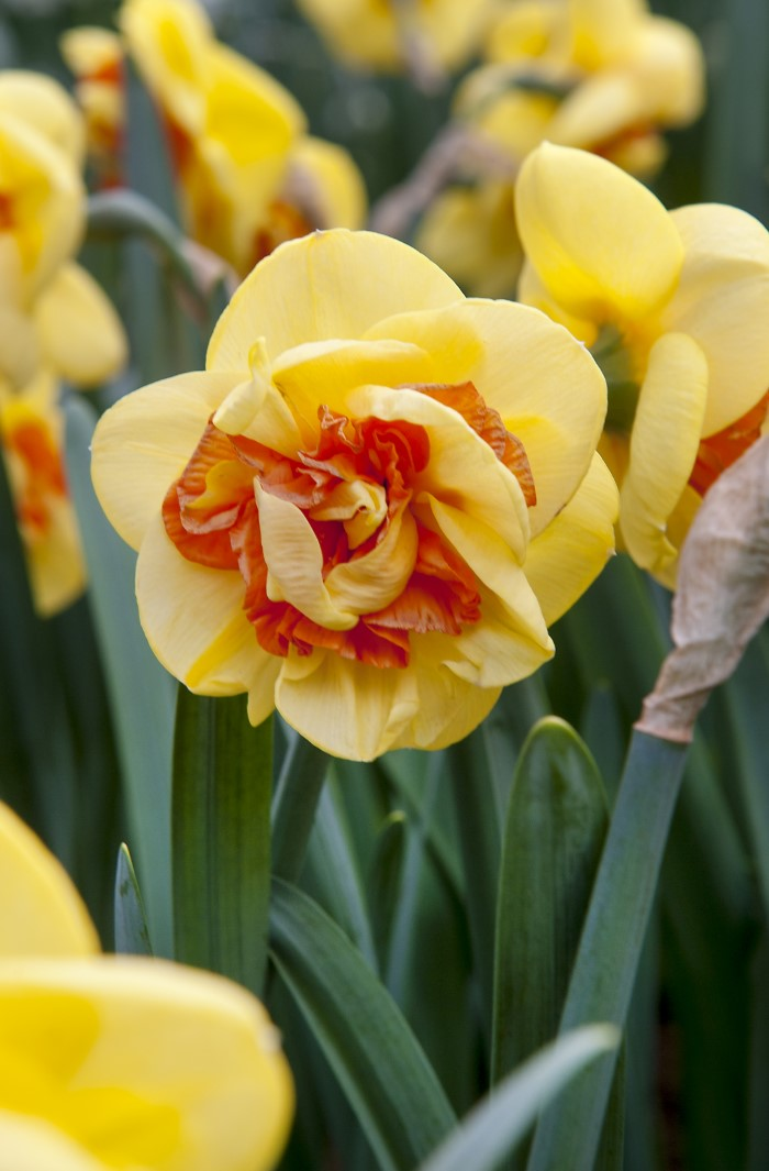 Narcissus Daffodil Kiwi Sunset