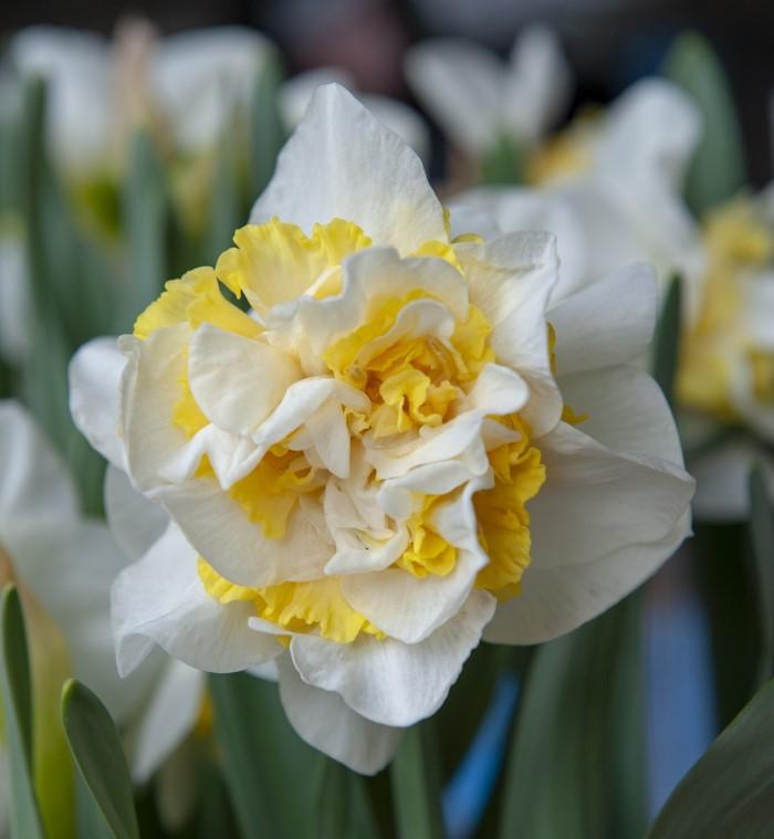 Ruffled Daffodil blooming