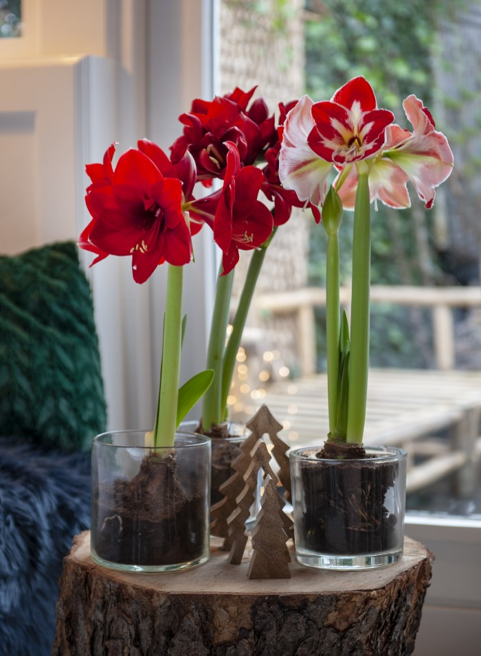 Strong stemmed Amaryllis used as indoor Christmas Blooms