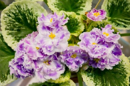 close up shot of purple and white african violets with yellow centers
