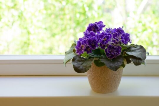 Beautiful blooming African violet flower on white windowsill.
