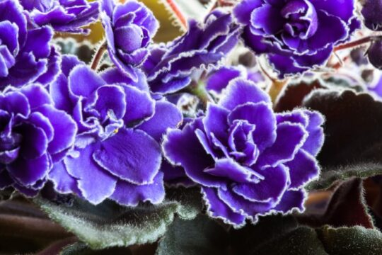 Small delicate purple with white fringe flowers of an African Violet houseplant.