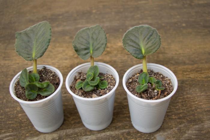 African violet leaf propagation