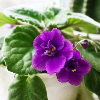 African Violet Care: Proper Care and Propagation Tips