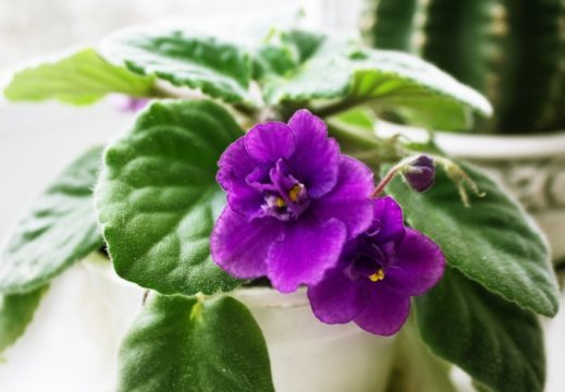 Potted african violet in a windowsil
