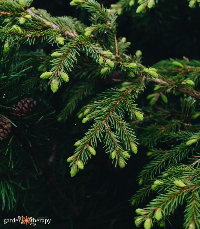 identifying pine needles