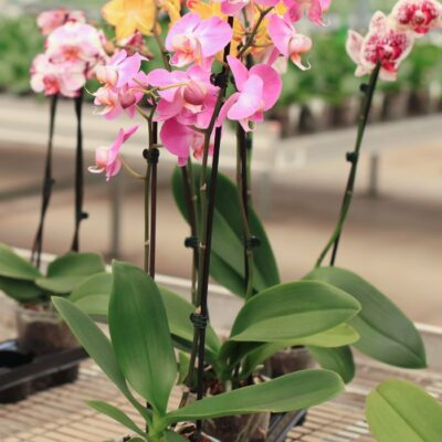 Orchid Care – How to Grow + Propagate Orchids