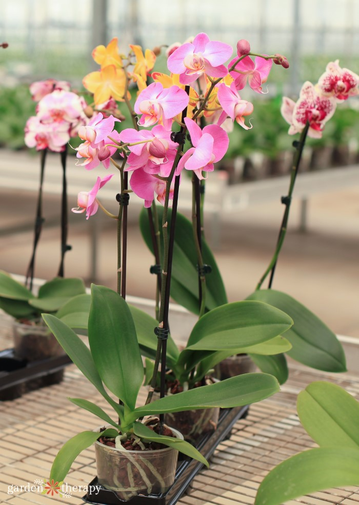 Orchid Care - How to Grow + Propagate Orchids - Garden Therapy
