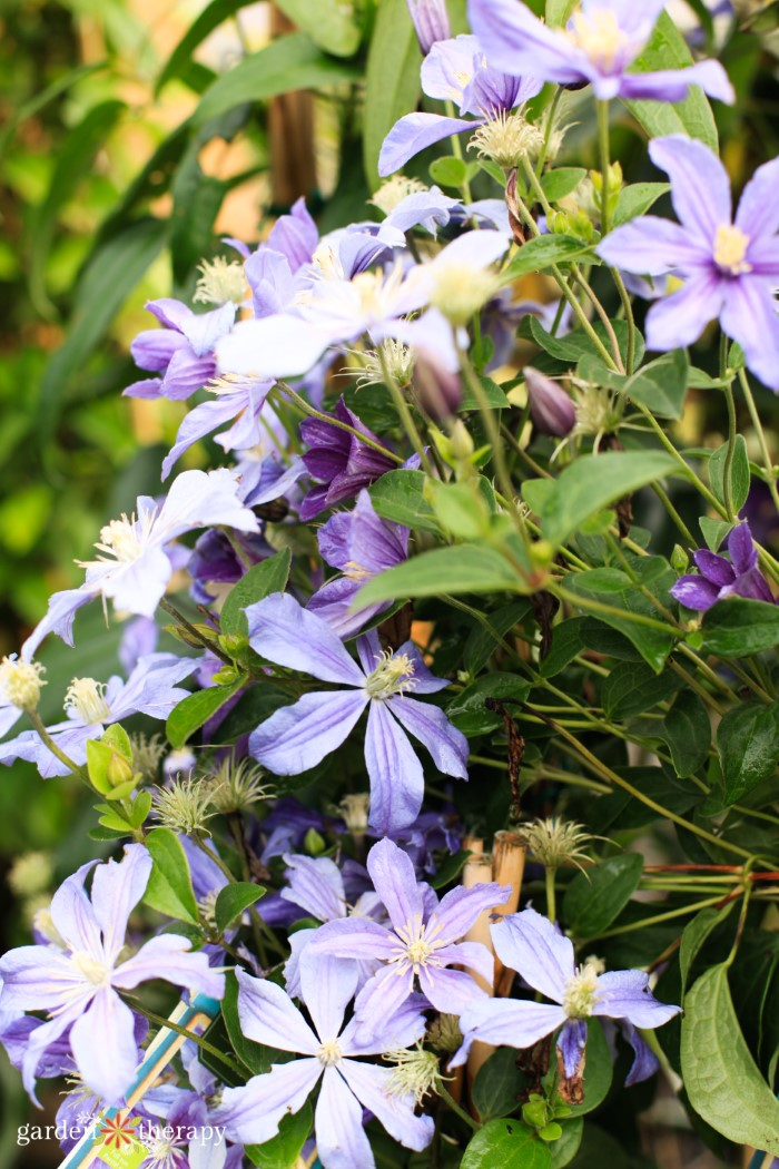 small-flowering clematis flowers
