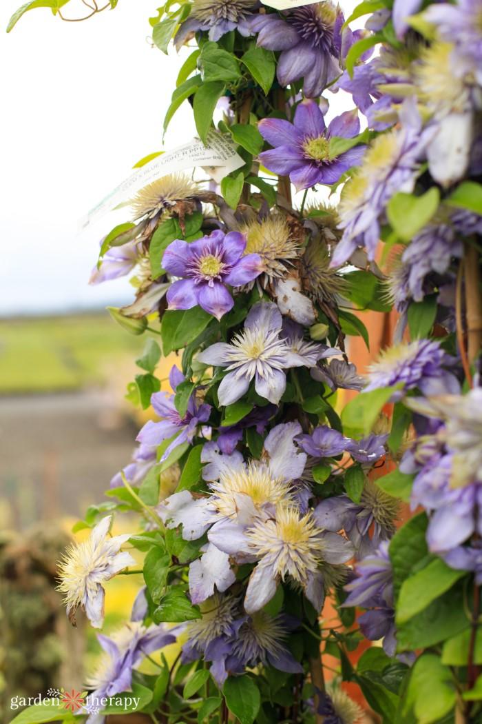 pale purple clematis flowers