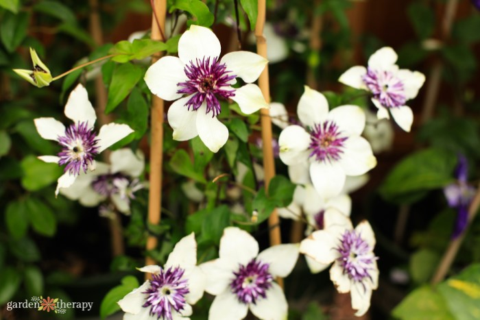 white and purple clematis flowers
