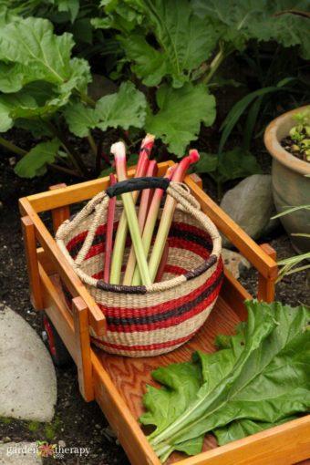 harvesting rhubarb in a basket