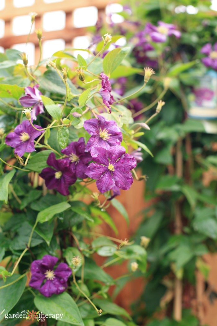 purple clematis flowers growing by fence