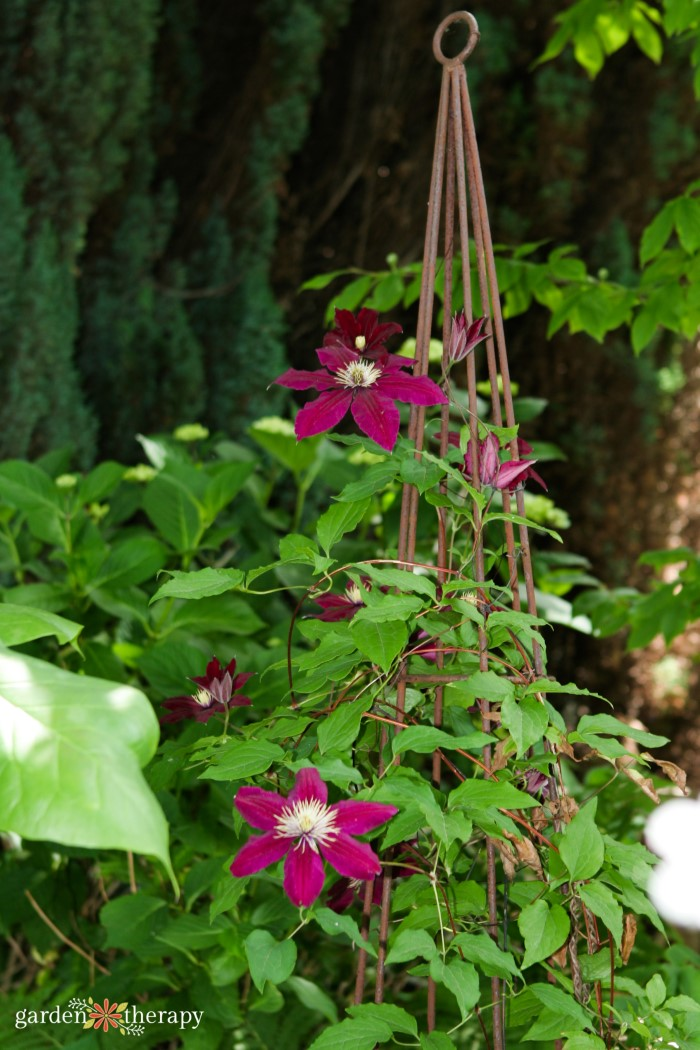 clematis vine with stake