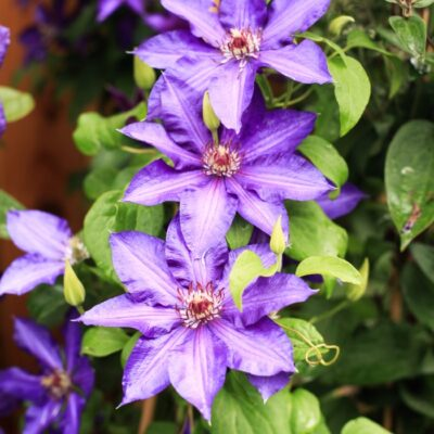 Clematis Growing Guide: How to Get Stunning Blooms