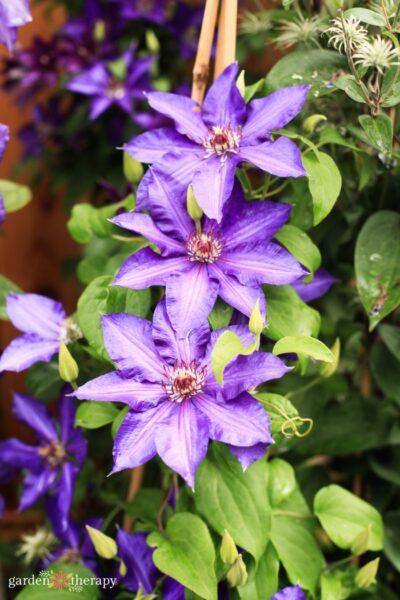 large-flowering purple clematis flowers