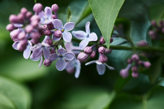 lilac buds ready to bloom