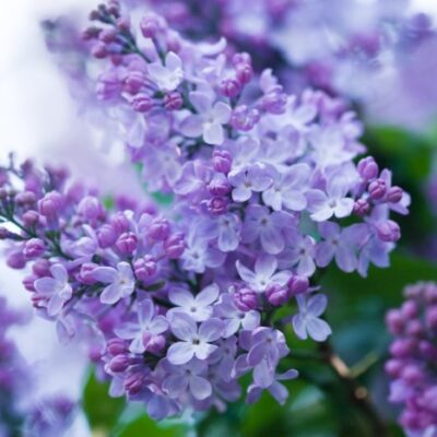 How to Grow Lilacs for a Fragrant Spring