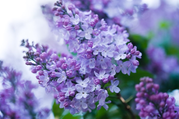 lilac flower clusters