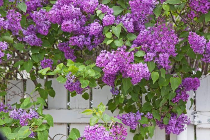 purple lilac shrub growing alongside fence