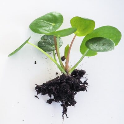 4 Easy Methods for Propagating Houseplants