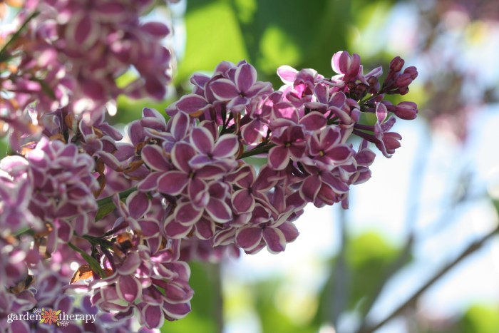 purple lilac flowers with white border