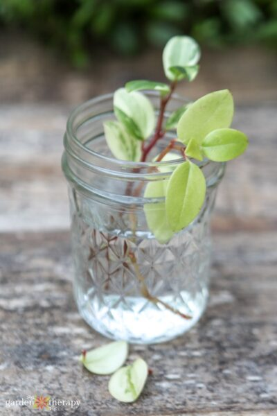 variegated plant growing in water