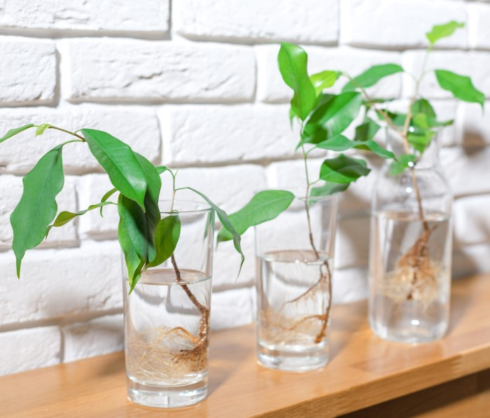 ficus cuttings in glasses of water