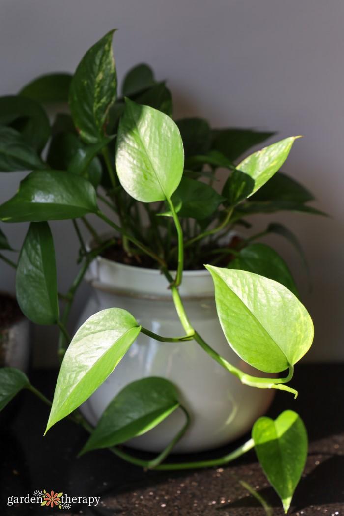 pothos houseplant