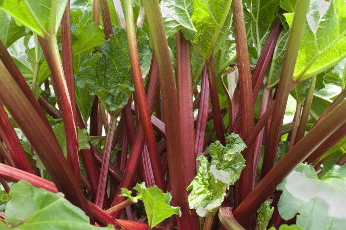 red rhubarb stalks with green leaves