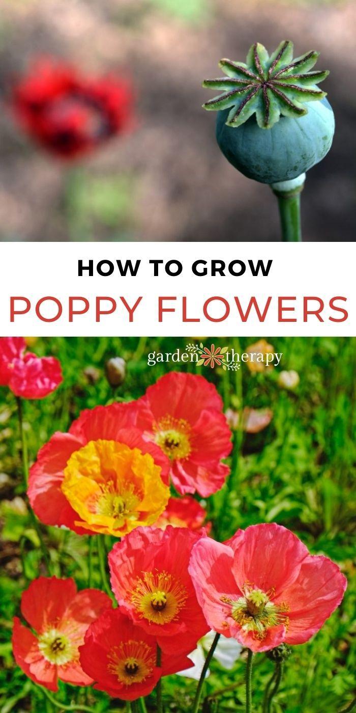 How to Grow Poppy Flowers