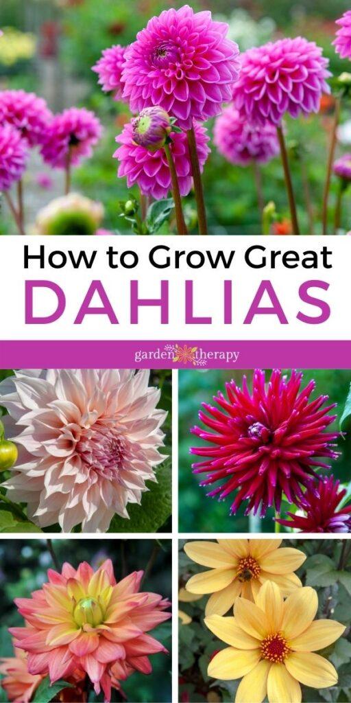 How to grow Great Dahlias