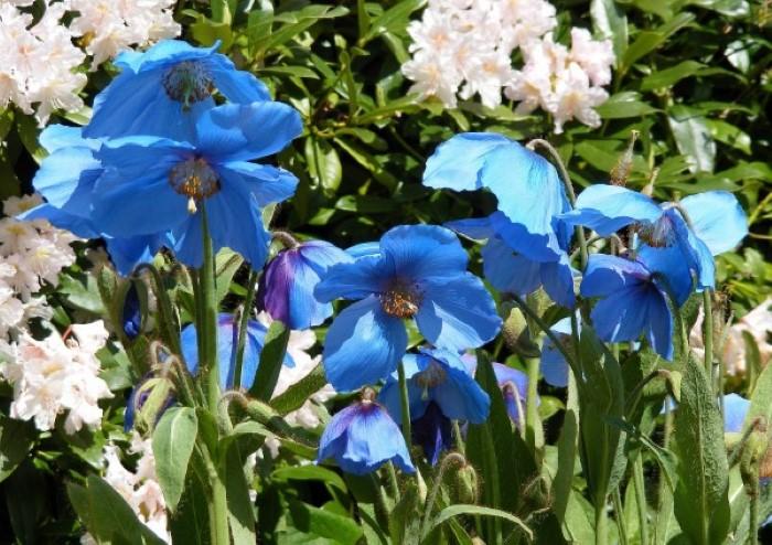 blue poppy flowers