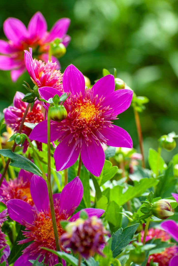 how to grow dahlia