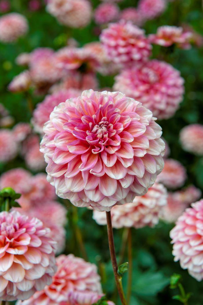 rounded dahlia flower