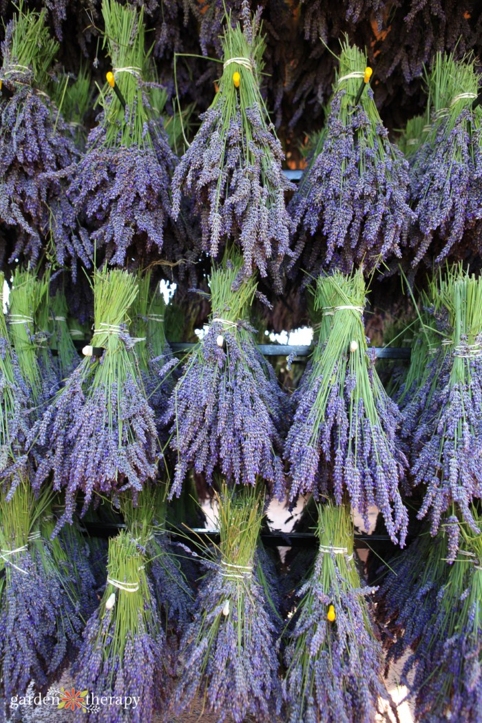 bunches of dried lavender