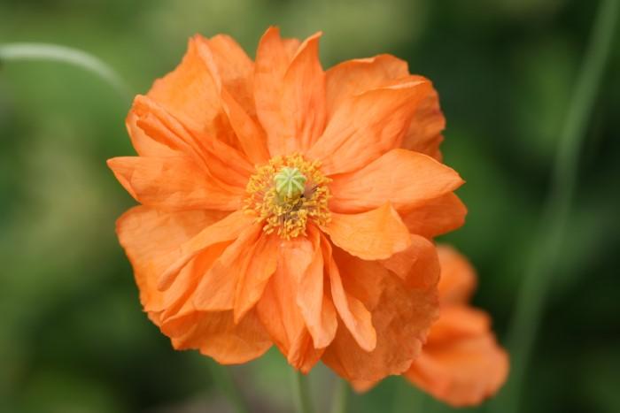 orange double flowered poppy