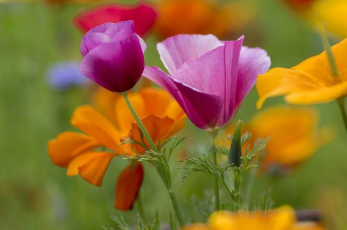 california poppies in purple and orange
