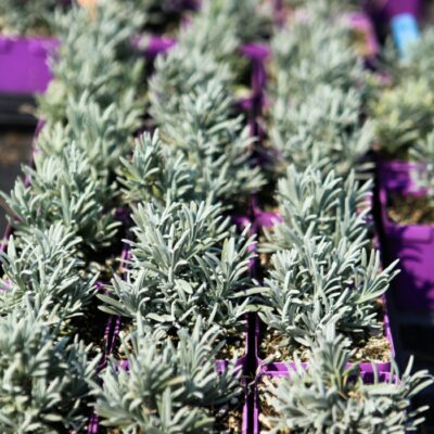 How to Propagate Lavender for Endless Blooms
