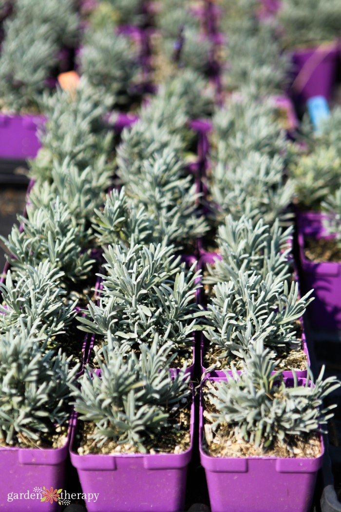 How to Propagate Lavender for Endless Blooms - Garden Therapy