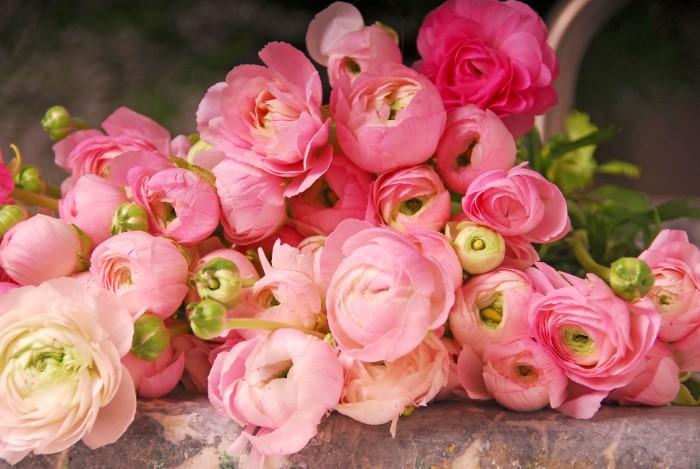 Ranunculus asiaticus flowers