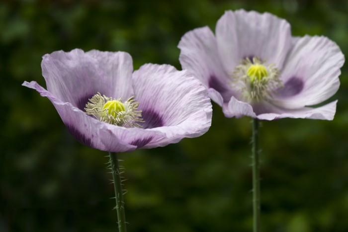 purple opium poppy