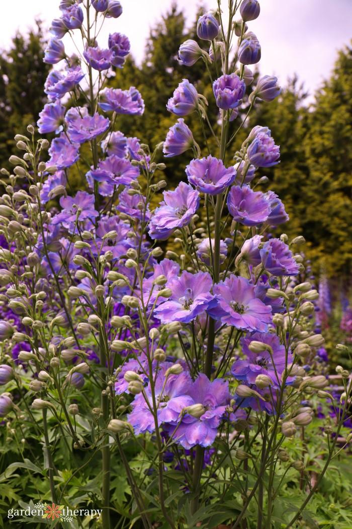 purple delphinium stalk blooming