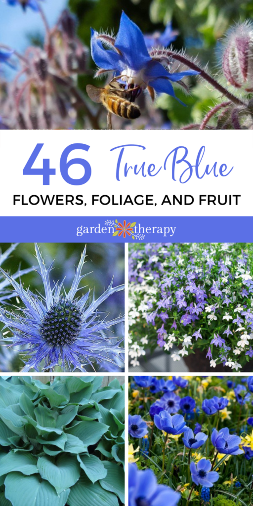 Igaz kék virágok, lombozat és gyümölcs