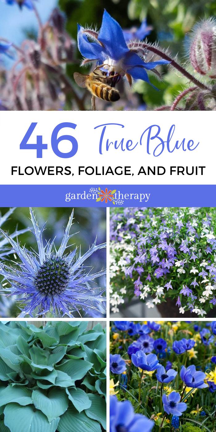 True Blue Flowers, Foliage, and Fruit
