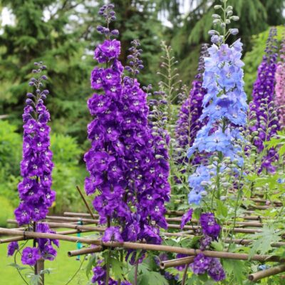 Grow Delphinium for a Cottage Style Garden