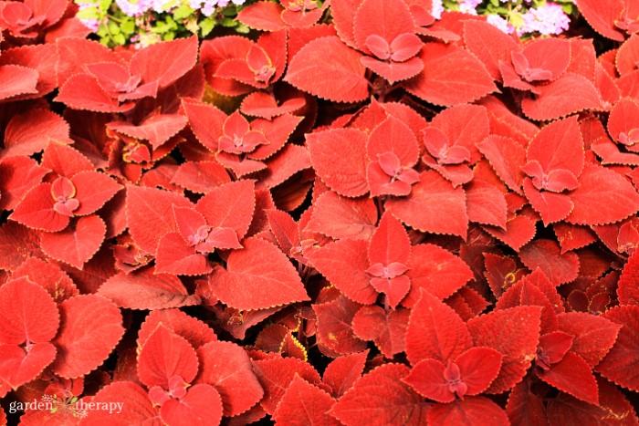 red coleus leaves