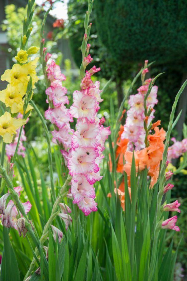 growing gladiolus flowers